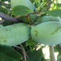 Indián banán termése 2020. augusztus