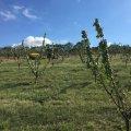 Kajszibarack ültetvény Hosszúhetény